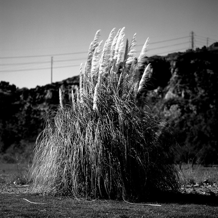 BW 03-15-13 A-BW film 50001 Pampas Grass Plume